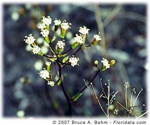 Dubautia scabra subsp. scabra
