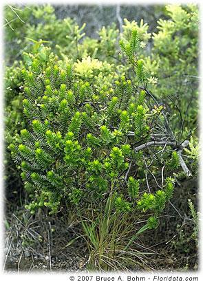 Dubautia linearis subsp. hillebrandii