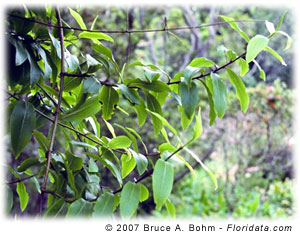 Dubautia latifolia