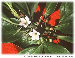 Myoporum sandwicens
