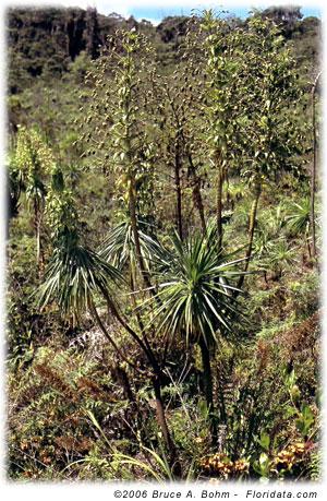 Wilkesia gymnoxiphium