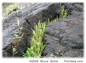 ferns growing in lava crack