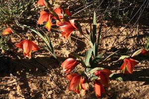 Gladiolus elatus
