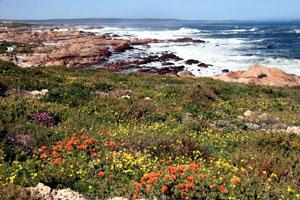 daisies along the Atlantic coast