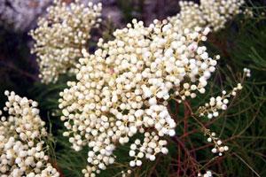 The Bruniaceae