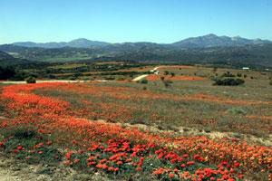 Namaqualand daisy