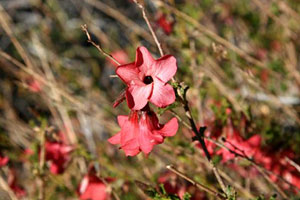 desert rose bush