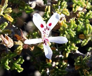 Pelargonium spinosum.