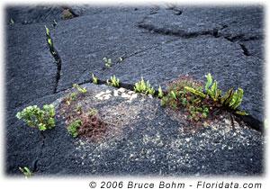 plant pioneers on lava