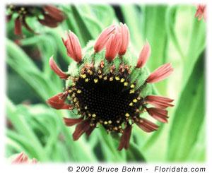 silversword flower