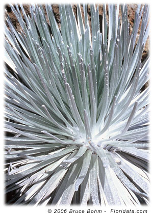 silversword leaves