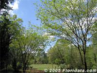 Floridune