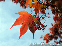 Japanese maple leaves and flowers