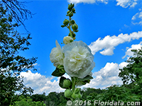 double-flowered hollyhock