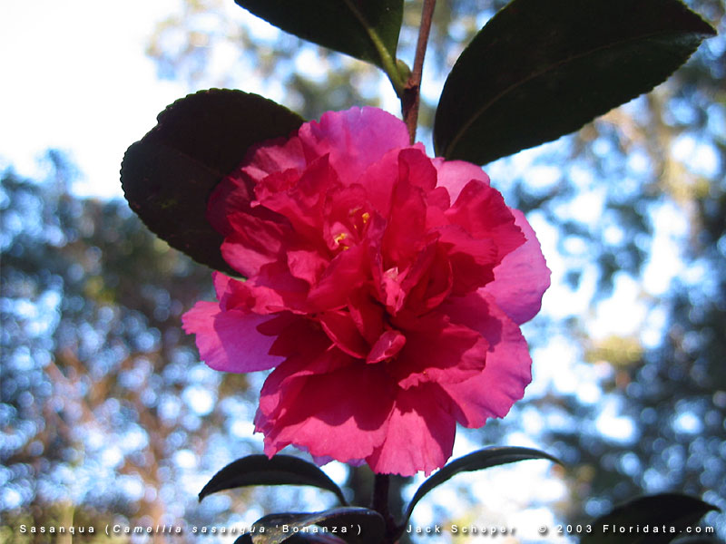 Leslie Ann Camellia Sasanqua - 3 Gallon - Sasanqua Camellias ...