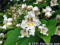 Northern catalpa tree flowers