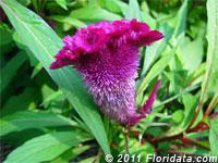 feathered amaranth