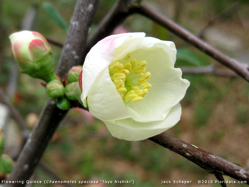 a popular variety of flowering quince that youu0027re likely to encounter is which is very similar to and from what i can tell is the same plant - Quince Flower