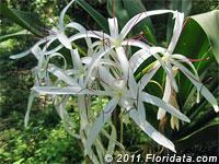 grand crinum lily