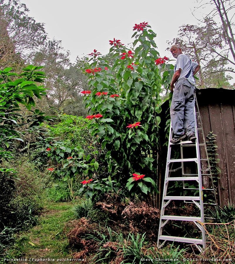 Green Family Stores >> Euphorbia pulcherrima