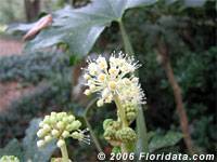 Japanese aralia flowers