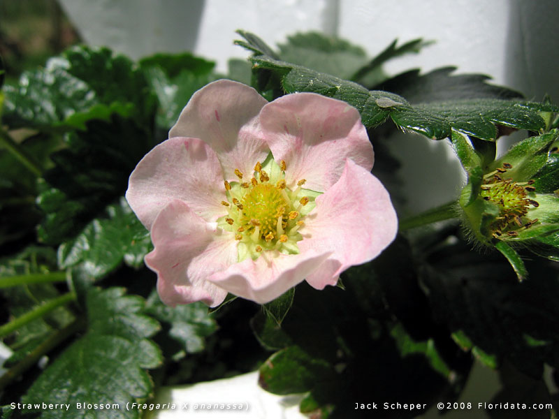 Fragaria x ananassa strawberries bloom early in the season most varieties have pure white flowers but this one is pretty in pink strawberries mightylinksfo