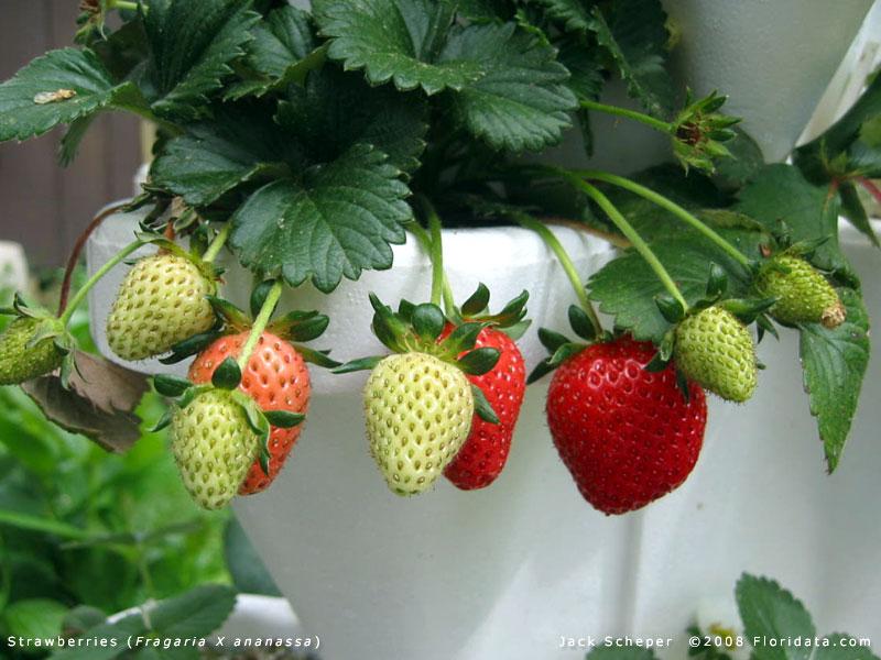 Unripe Strawberries Strawberries bloom early in