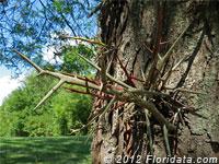 honeylocust thorns