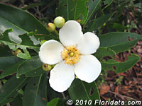loblolly bay flower