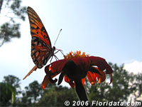 gulf fritillary butterfly on a Mexican sunflower