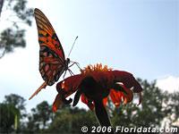 gulf fritillary butterfly on a Mexican sunflower