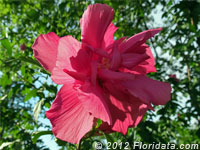 rose-of-sharon