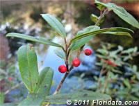 Myrtleleaf holly berries