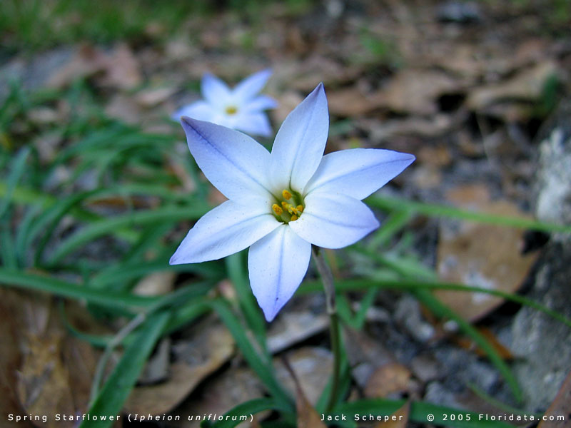 Ipheion uniflorum spring starflower blooms in early spring along with other fall planted bulbs like crocus and daffodil mightylinksfo
