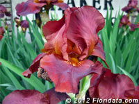 All About Iris