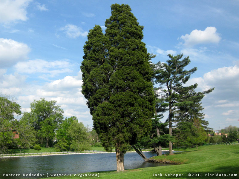 Eastern Cedar Tree ~ Juniperus virginiana