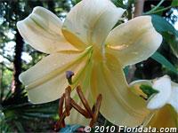 Honeymoon lily