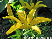 Polyanna lily