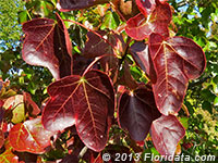 sweetgum leaves in fall color