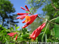 coral honeysuckle blossom