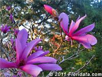 Susan magnolia