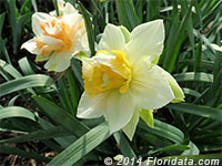 'Cheerfulness' daffodil