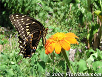 Palamedes swallowtail butterfly on a Mexican sunflower