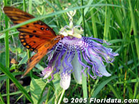 butterfly on maypop passionflower