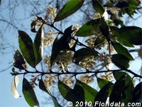 Carolina cherry laurel flowers