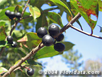Carolina cherry laurel berries