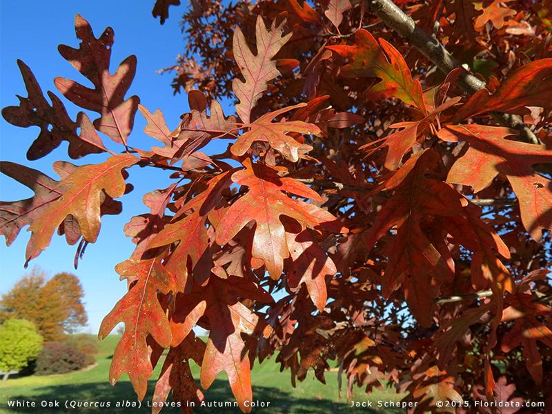 Quercus alba  Quercus alba