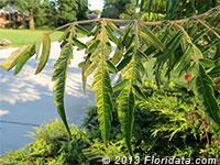 staghorn sumac in bloom
