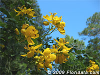 Christmas Senna flowers