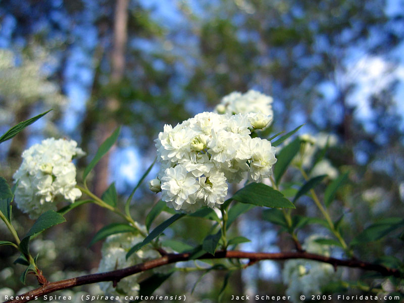 Bush Small White Flowers